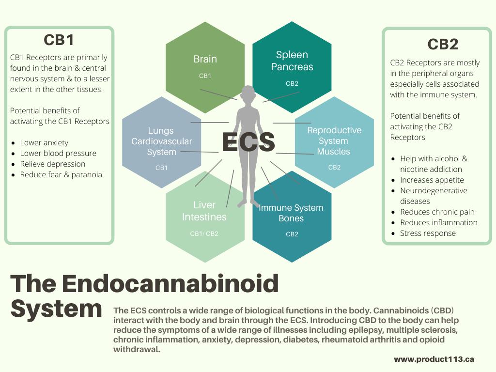 CBD & Anxiety - The Endocannabinoid System Chart